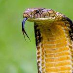 king-cobra-facts