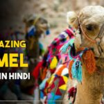 Camel-facts-in-hindi