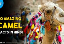 camel facts in hindi