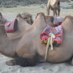 amazing-facts_about_camel_in_hindi