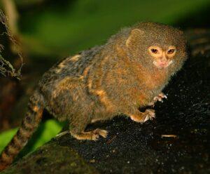 pygmaea monkey