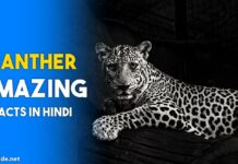 Panther Facts in hindi