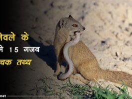 Mongoose Facts In Hindi