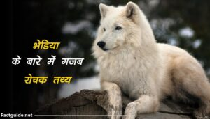 wolf facts in hindi