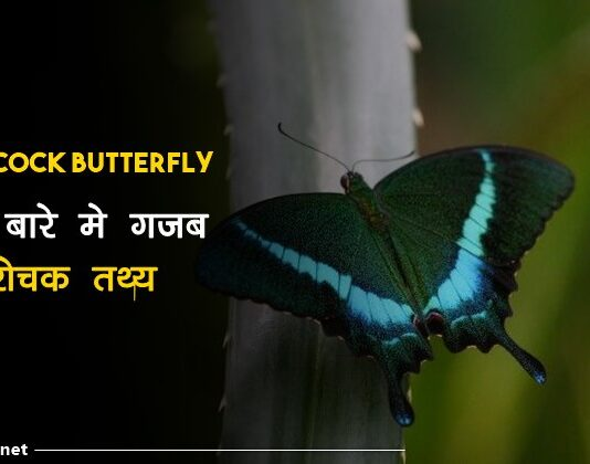 common peacock butterfly facts