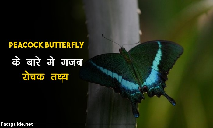 Common Peacock Butterfly Facts In Hindi | तितली के बारे में 20 रोचक तथ्य