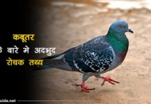 Pigeon Facts In Hindi